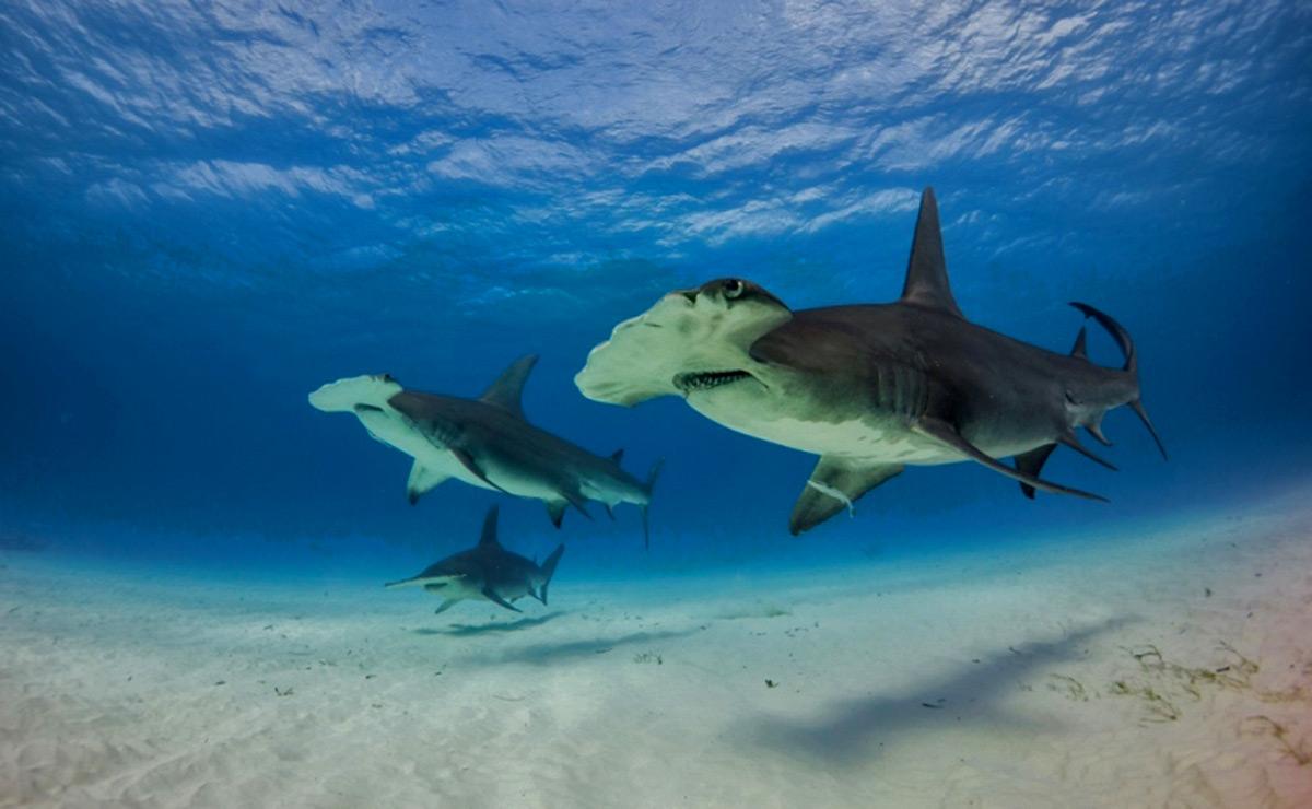 bahamas-sharks