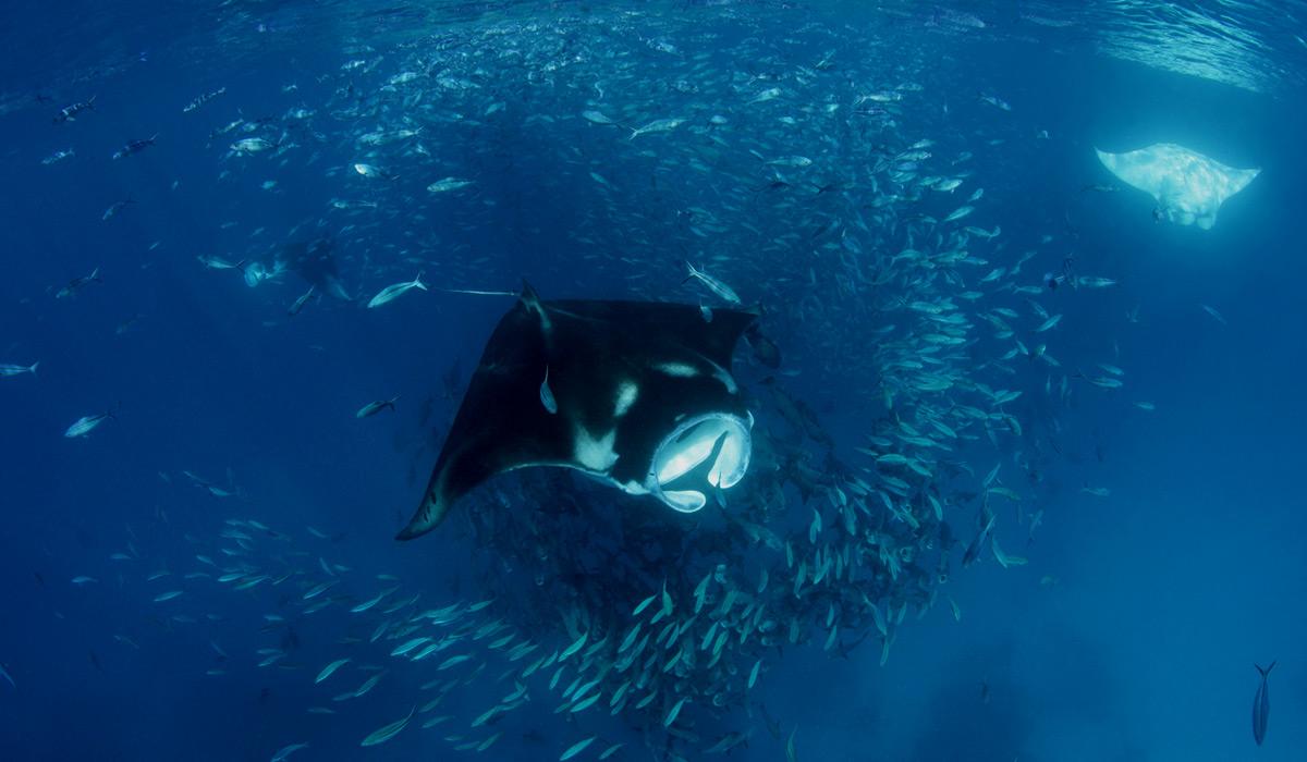 maldives-mantas