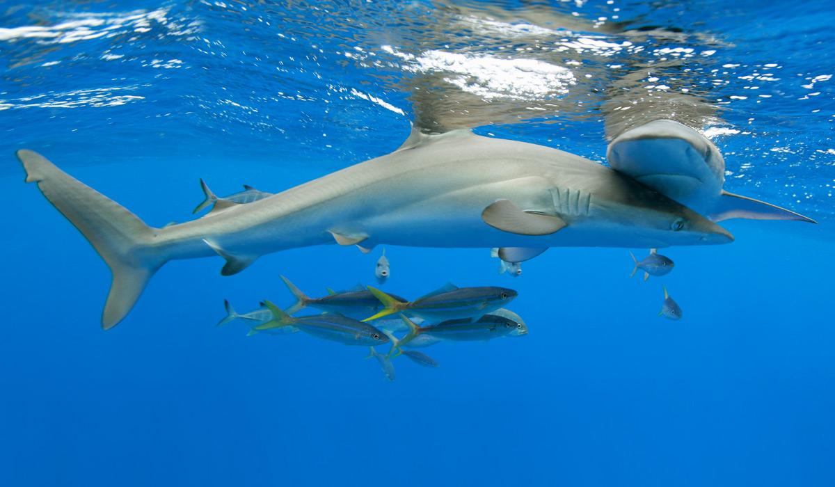 silky-sharks